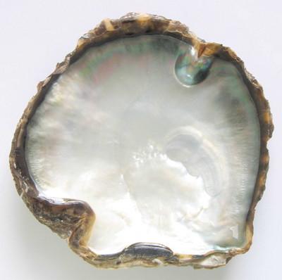 File:Pinctada margaritifera shell inside.jpg